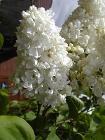 Lilac.head.600pix