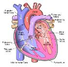 Diagram of the human heart (cropped)