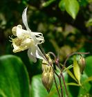 Aquilegia fragrans 2