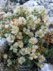 Paronychia argentea (286232698)