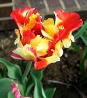Kvetoucí tulipán