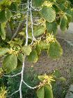 Hamamelis virginiana FlowersLeaves BotGardBln0906