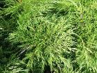 Juniperus sabina cult1