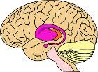 BrainCaudatePutamen