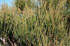 Pollença - Ma-2210 - Cap de Formentor - Ephedra fragilis 05 ies