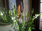 Ornithogalumcutflowers