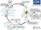 Drac life cycle