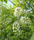 Prunus virginiana flowers