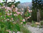 Apocynum androsaemifolium var androsaemifolium 5