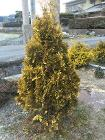 Thuja occidentalis 'EuropeGold'-201601-JAPAN