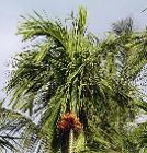 Beetle palm with nut bunch