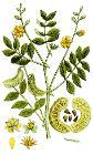 Cassia senna Ypey80-cropped