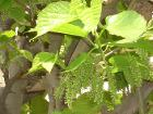 Mulberry Flower Clusters