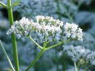 Valeriana officinalis1