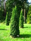 Podlaskie - Suprasl - Kopna Gora - Arboretum - Thuja occidentalis 'Smaragd' - plant