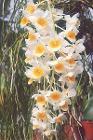 Dendrobium-densiflorum-x-fa
