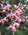 DendrobiumMargaretThatcher-NationalOrchidGarden-Singapore-20041025