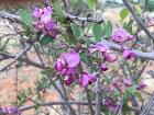 Securidaca longipedunculata00