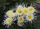 Chrysanthemum 'Vesuvius'