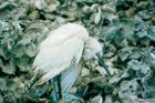 Blue heron chlamydiosis