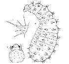 Odontomachus.haematodes.adult.larva.-.wheeler